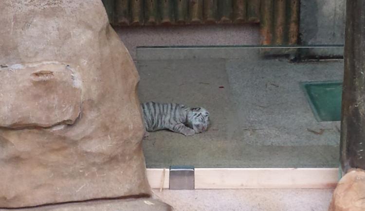 V ZOO se narodil malý bílý tygřík. Hned se vydal na procházku
