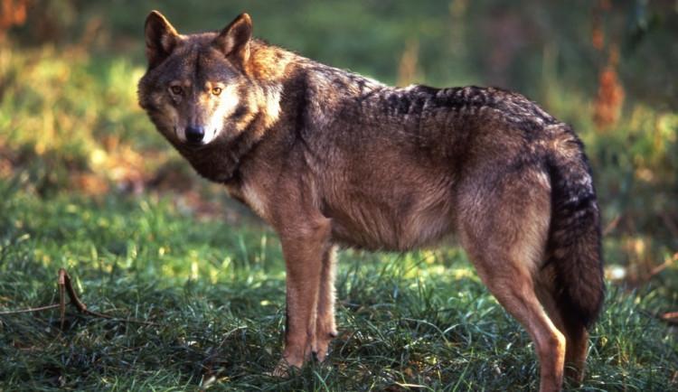 Ochránci nemají čím sledovat vlky. Ukradli jim fotopast