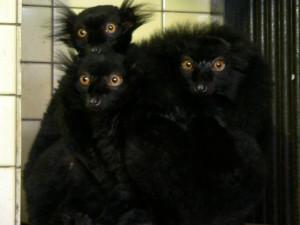 Lemurům se zatím na ostrůvku nelíbí, raději skočili do vody
