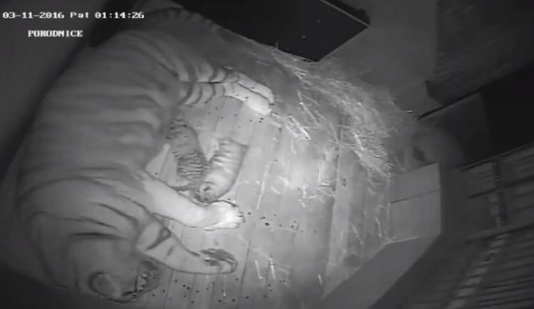 VIDEO: Tygří mláďata se mají k světu, přísun mléka z nich dělá nemotorné válečky