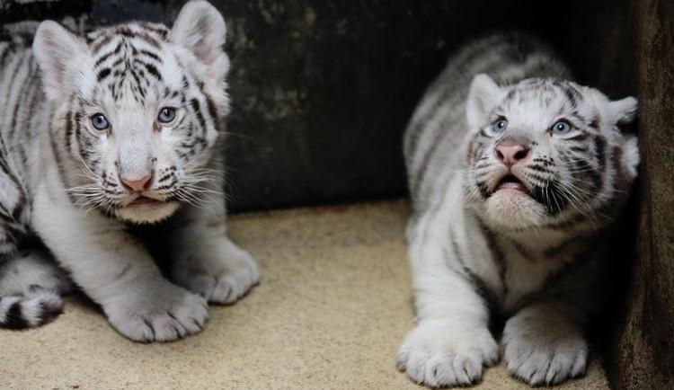 Tygří mláďata mají za sebou očkování, ošetřovatelé v sobotu odtajní jejich jména