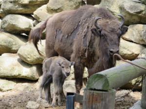 Stádo zubrů v Ralsku se rozrostlo o zvířata dovezená z Polska