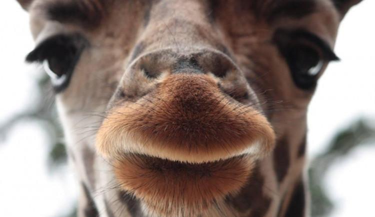 Světový den žiraf? Liberecká zoo si připravila komentované prohlídky