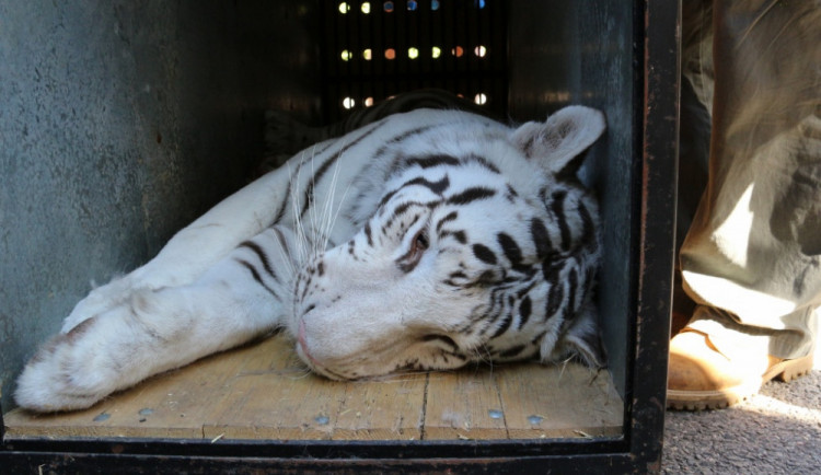Libereckou ZOO opouští dva malí bílí tygři. Míří do Francie