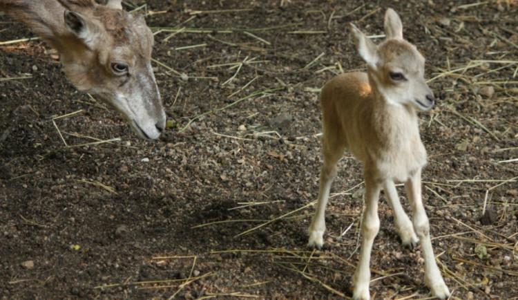FOTO: Urial, zebra i zoborožec. Liberecká ZOO vítá další mláďata