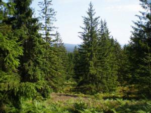 Lesy budou zas o něco pestřejší, nadace vysadí tisíce jedlí