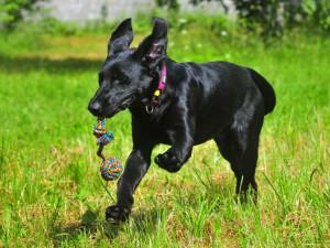 Týraný pes Marley našel nový domov