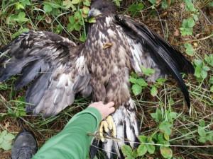 Houbaři našli postřeleného orla mořského, dravec později v Liberci zahynul