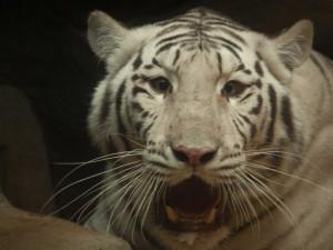 Liberecká ZOO poskytla dočasné útočiště dvěma zabaveným bílým tygrům
