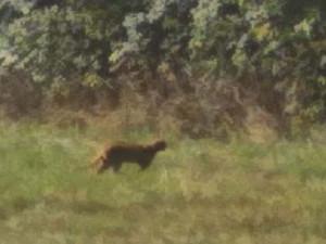 Kočkovitá šelma nejspíš stále běhá po lesích. Viděli ji v Kořenově