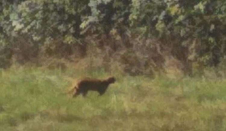 Kočkovitá šelma by měla být stále na Jablonecku. Byl povolen její odchyt