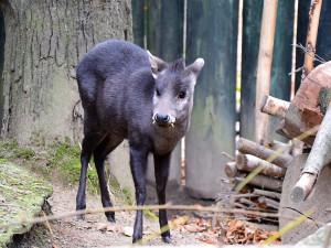 Do liberecké zoo přicestovala nová obyvatelka v podobě samičky muntžaka chocholatého