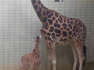 Zoo Liberec se rozrostla o mládě ohrožené žirafy Rothschildovy