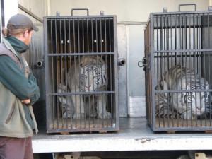 Zabavené bílé tygřice se stěhují z liberecké zoo. Nový domov našly na Slovensku