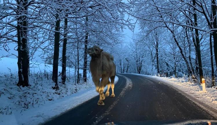 Mezi vločkami můžete na silnici v Jizerkách potkat ledacos, třeba velblouda