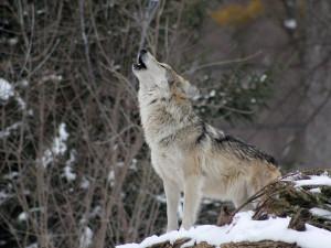 Vlkům na stopě. Monitoring šelem v Česku probíhá už dvacet let