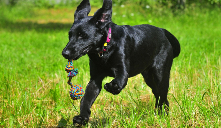 Od dneška musí být psi starší než čtvrt roku očipovaní