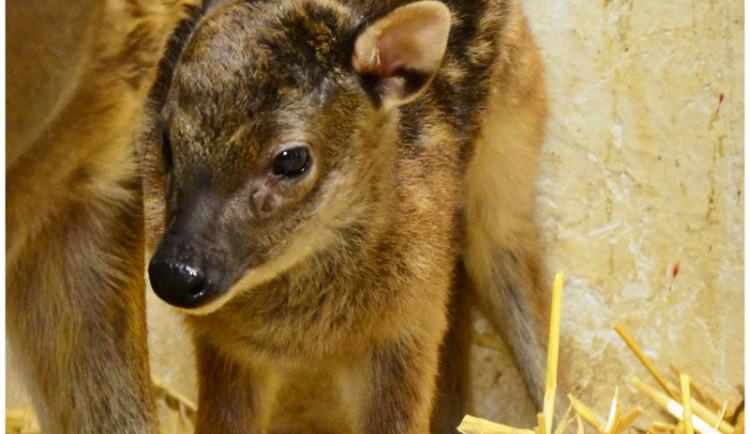 FOTO: Liberecká zoo vítá první mláďata roku. Na svět přišla nyala, buvolec a sambar