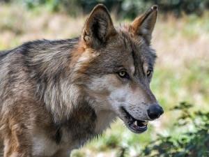 VIDEO: Lužickými horami si vyšlapují čtyři vlci. Po vlcích v Českém ráji budou pátrat dobrovolníci