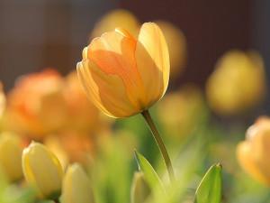 Tulipány kam se podíváš. Spolek Amelie opět upozorní na podporu onkologicky nemocných