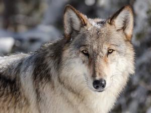Počet vlků v české krajině se zvyšuje. Nejvíce se smečkám daří v pohraničních oblastech