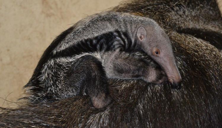 V liberecké zoo se narodil úplně první mravenečník velký