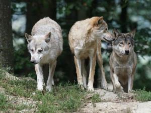 Ohromné smečky nebo extrémně přítulný vlk. Vlčí hoaxy nahrazují pohádku O Karkulce