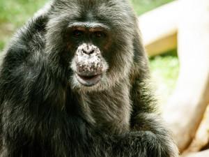 Ošetřovatelé v liberecké zoo nosí roušky i k šimpanzům