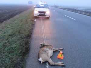 Srážky aut se zvěří? Nejhorší úsek v Česku je u Bílého Kostela