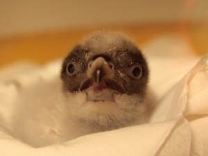 Liberecká zoo vypustí do volné přírody již čtrnácté mládě orlosupa bradatého