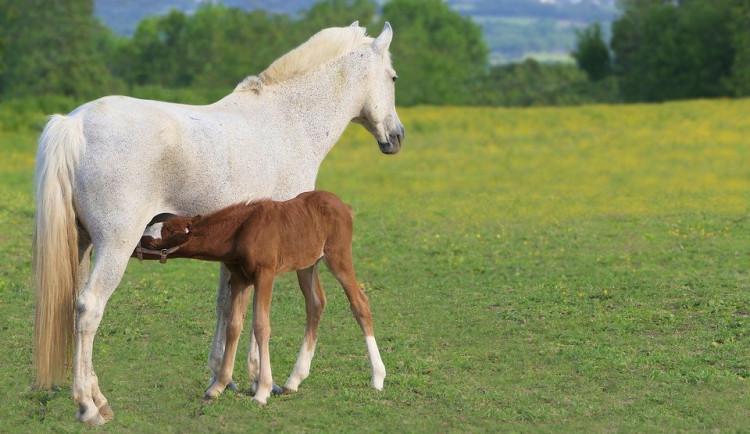 Někdo chtěl ublížit koním v Dubnici. Hodil jim mrkev s připínáčky