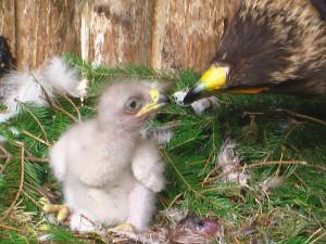 Liberecká zoo odchovala mládě vzácného orla křiklavého pomocí inseminace mraženým spermatem