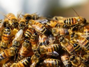 Kdy volat hasiče na roj včel nebo sršně? Mělo by jít jen o život ohrožující případy