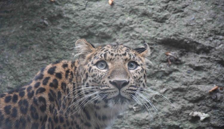 Nové kočky v Liberci. Zoo se může pochlubit levhartem i oceloty
