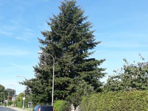 Liberec už má vánoční strom. Douglaska na náměstí dorazí z Řepné ulice, rozsvícení bude online
