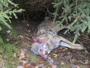U Dubé na Českolipsku našli mrtvou vlčici, zřejmě ji srazilo auto