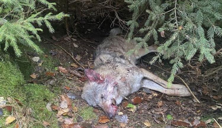 Mrtvou vlčici někdo zastřelil. Případ bude řešit policie
