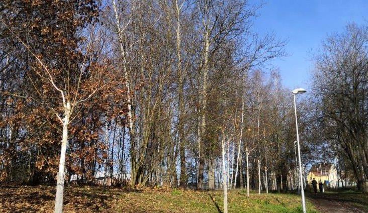 Nová březová alej vydržela tři roky. Pěti stromům uřezal koruny vandal
