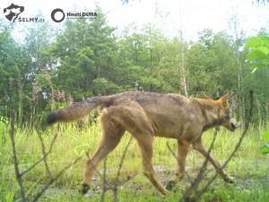 VIDEO: Přítomnost vlků v Jizerkách potvrzena. Vznikla zde dvě teritoria