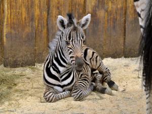 Další přírůstek v liberecké zoo. Narodila se stá zebra Chapmanova