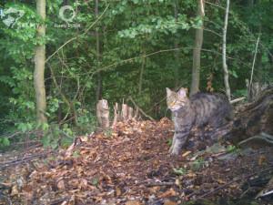Hledá se kočka, pozor, divoká! Vědci znova objevují sto let vyhynulou šelmu