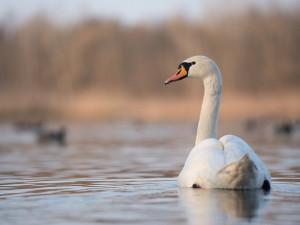 Ptačí chřipka v Libereckém kraji. Objevila se u labutí v Příšovicích