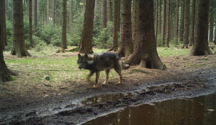 Vlk procházel v Raspenavě mezi domy, zřejmě jen hledal cestu