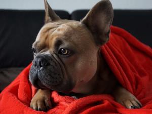 Pandemie vyhnala cenu psů do závratných výšin, za buldočka dáte i 60 tisíc