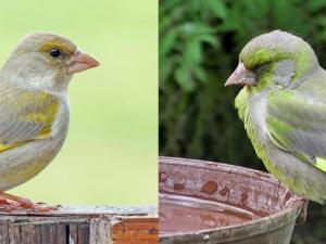 Našli jste ve svém okolí nemocného ptáka? Nahlaste to České společnosti ornitologické