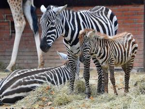 Zoo je na otevření nachystaná, i s omezenou kapacitou může uvítat dva tisíce lidí denně