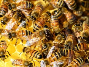 Letošní zimu nepřežilo 15 procent včelstev, zjistili olomoučtí vědci