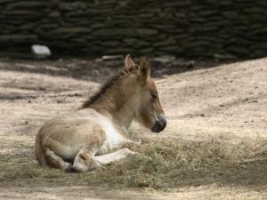 Kůň Převalského a sob karelský. Zoo vítá tři mláďata