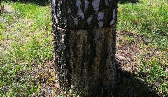 Někdo nařezal strom pilou. Město ho muselo pokácet