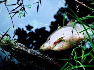 V Tampelačce plavaly mrtvé ryby. Zdroj znečištění se objasnit nepodařilo